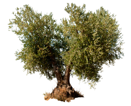 olivo-